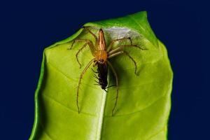 ragno che mangia insetto sulla foglia