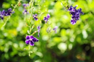 fiore viola del cielo foto