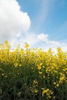 campo di colza con cielo blu foto