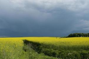 campo di canola contro il cielo tempestoso