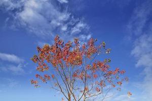foglie di sapium contro il cielo blu