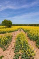 campo di colza con cielo blu