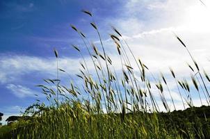grano sullo sfondo del cielo