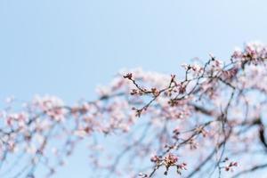 bocciolo di ciliegio e sfondo blu cielo foto