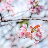 Sakura in fiore nel cielo invernale