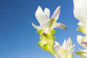 fiore bianco del tulipano del siam con il cielo foto
