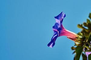 convolvolo fiore viola contro il cielo foto