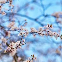 fiori di ciliegio contro il cielo blu foto