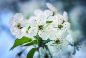 fiori di ciliegio in primavera contro il cielo blu foto