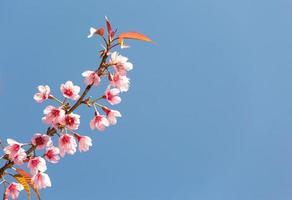 Sakura fiorisce al sole e al cielo blu