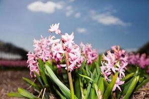 bellissimo campo di giacinti rosa con cielo blu.