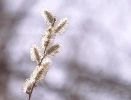 ramo di salice contro il cielo