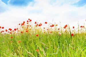 cielo e fiori di papavero sullo sfondo