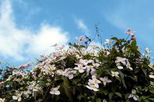 cuckooflower, fiore irlandese selvatico foto