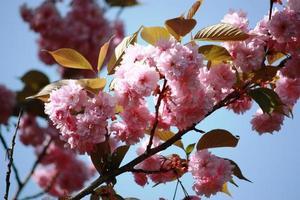 mandorle (prunus dulcis) fiori rosa sotto il cielo blu foto