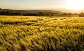 campo di cereali foto