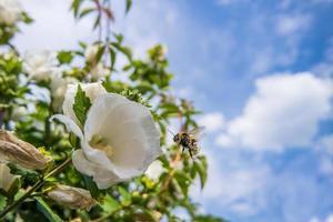 rosa malva con Bumble Bee
