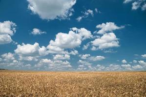 campo di grano e paesaggio del cielo blu