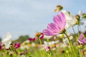 c. sulfureo cav. o cosmo di zolfo, fiore e cielo blu foto