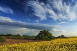 campi di canola in primavera