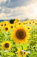 girasoli gialli su uno sfondo di cielo blu in Toscana, Italia foto