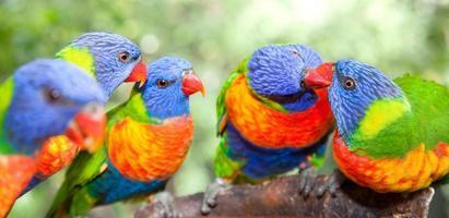 lorichetti arcobaleno australiani foto