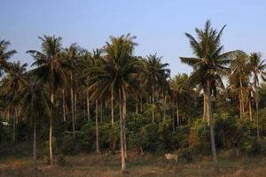 mucche sulle terre tropicali foto
