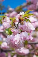Sakura albero fiorisce in primavera contro un cielo blu
