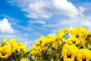 fiori gialli viola del pensiero contro il cielo blu