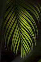 foglia di cocco con sfondo scuro
