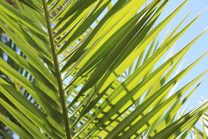 blatt der palme foto