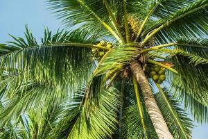 cima di un albero di cocco