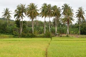 campo di riso a koh yao noi, phang nga, thailandia