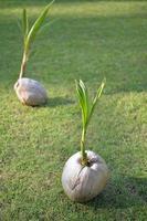 germogli di cocco