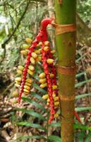frutti di palma foto