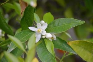 fiori d'arancio bianchi e profumati contro foglie verde scuro