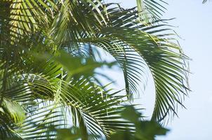 fronde di palma