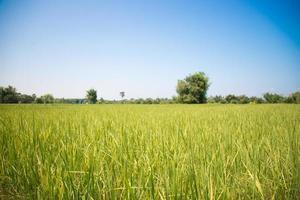 campo di riso erba verde cielo blu nuvola nuvoloso paesaggio backgroun