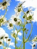 fiori di camomilla sotto il sole