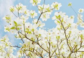 albero di corniolo bianco foto