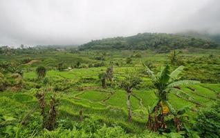 campi di riso verde brillante con palme