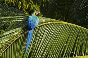 Ara blu e gialla selvaggia a panama, america centrale