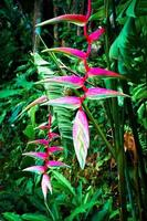 fiore rosa heliconia foto