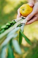 scuotendo il ramo di palma lulav per celebrare il sukkot foto