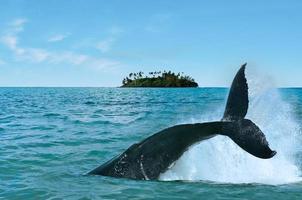osservazione delle balene nelle isole cook di rarotonga foto