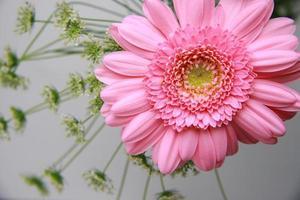margherita rosa barberton foto