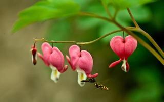 fiore bicucullina foto