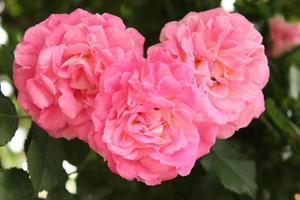 cuore rosa rosa foto