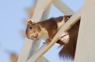 scoiattolo guardando in basso