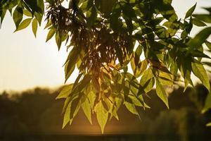 ramo di un albero con foglie durante il tramonto